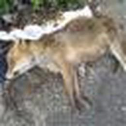 Tra i campi eternit e una volpe morta