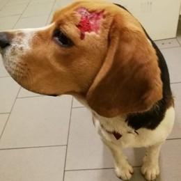 Dovera, cucciola aggredita per strada