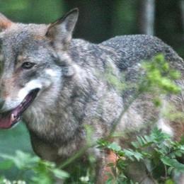Un lupo avvistato nella Bassa. VIDEO