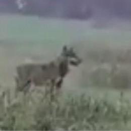 Il lupo segue le tracce dei cinghiali, ma mangia anche le nutrie