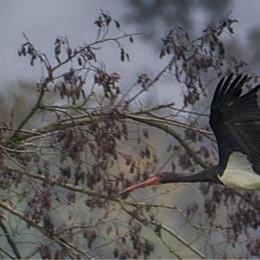 Il volo delle cicogne nere sul Lodigiano