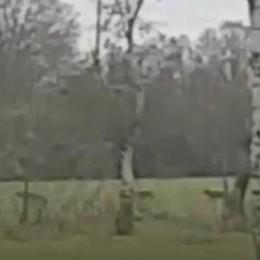 VIDEO - Lupi nelle campagne della Bassa, il punto sugli avvistamenti