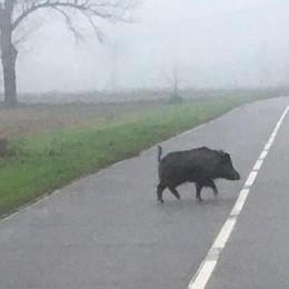Maccastorna, allarme per un cinghiale: l'animale taglia la strada allo scuolabus