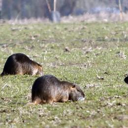 Nutrie, eterna emergenza: «La caccia si è fermata»