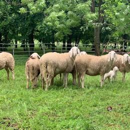 A Castelnuovo le pecore danzano sotto la pioggia
