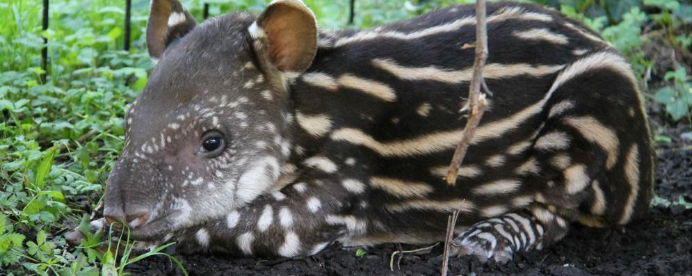 """Al parco delle Cornelle è nata la tapira """"Lodi"""". IL VIDEO"""