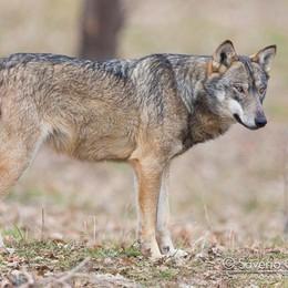 Faccia a faccia con il lupo sulle sponde della Muzza  - SONDAGGIO