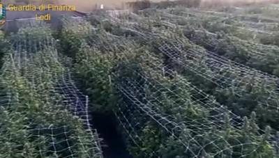 Borghetto, la Finanza sequestra 10 tonnellate di marijuana