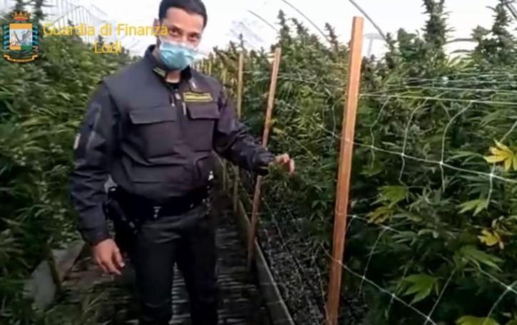 Borghetto, scoperta una gigantesca piantagione di marijuana FOTO E VIDEO