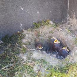 Nella cassetta della posta spunta un nido con 4 cinciallegre