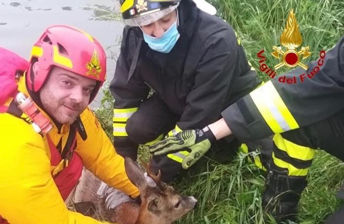 Il cervo caduto nel cavo Marocco, salvato dai vigili del fuoco