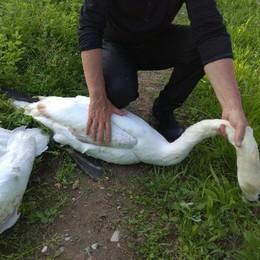 Paullo, due cigni intrappolati dal filo da pesca salvati dai volontari Enpa