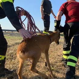 Borghetto, vigili del fuoco salvano capriolo e lo rimettono in libertà