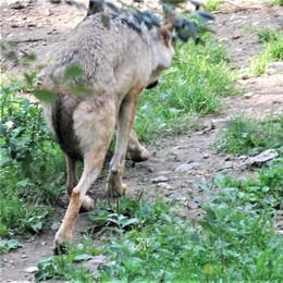 San Colombano, torna il lupo della collina