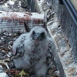 """Sulle ciminiere di Tavazzano e Bertonico """"spuntano"""" i nidi dei falchi pellegrini"""