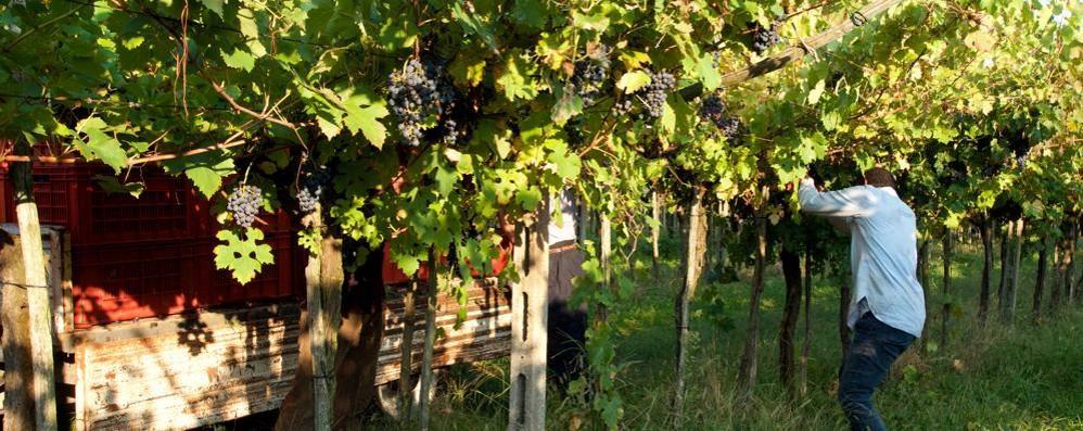 """SAN COLOMBANO """"Brilla"""" l'oro rosso della collina ma preoccupa il vino in giacenza"""
