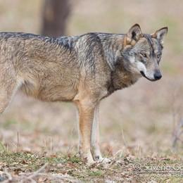 Avvistato un lupo nella riserva Monticchie di Somaglia