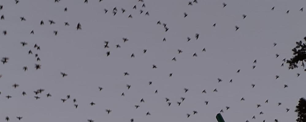 Lodi, la danza degli uccelli in via Sacchi