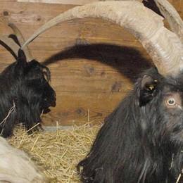 """Le due capre ostinate"" - VIDEO"