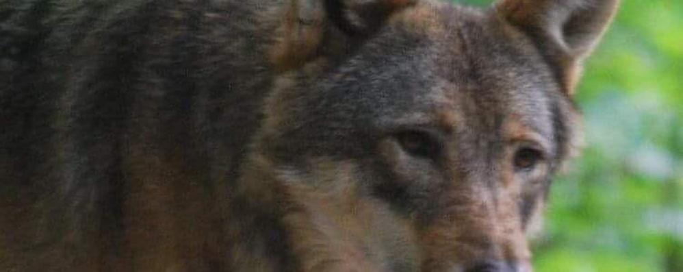 Nel click d'autore il lupo a spasso per le Monticchie