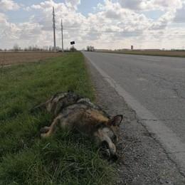 Animale travolto a Maleo: «È un lupo»