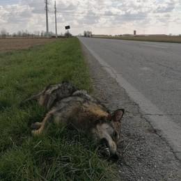 L'animale investito a Maleo era un lupo