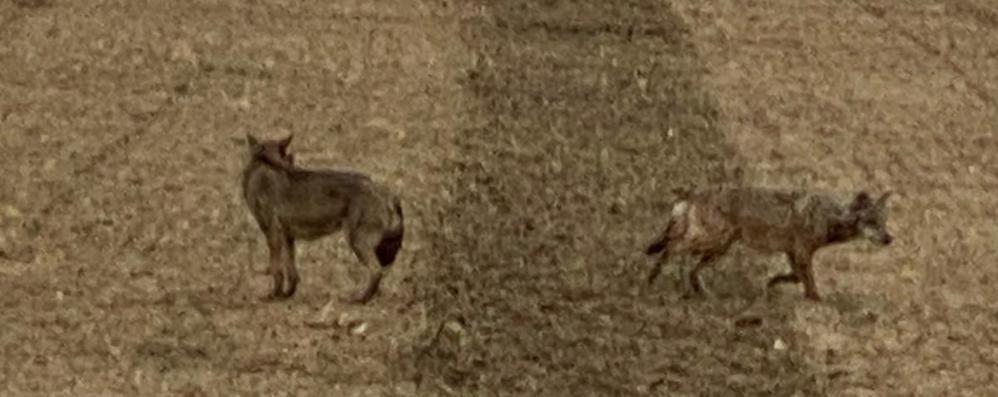 Nuovo avvistamento di lupi a Castiglione