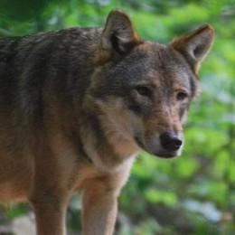 «Questi lupi sono di passaggio, gli servono più boschi e prede»