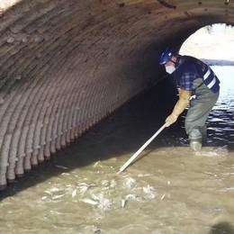 Roggia in secca, volontari Fipsas  salvano due tonnellate di pesci