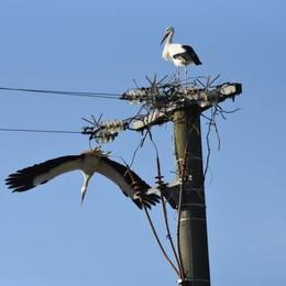 Codogno, le cicogne vogliono ancora fare  il nido sul palo della media tensione