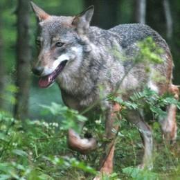 Corno Giovine, rischia l'incidente perchè  un lupo gli attraversa la strada