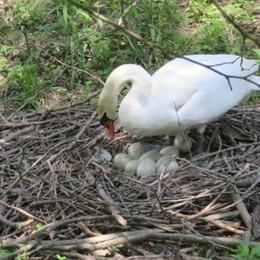"""L'Adda attende nove nuovi """"abitanti"""": mamma cigno sta covando le uova VIDEO"""