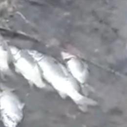 SENNA Strage di pesci nella Guardalobbia VIDEO