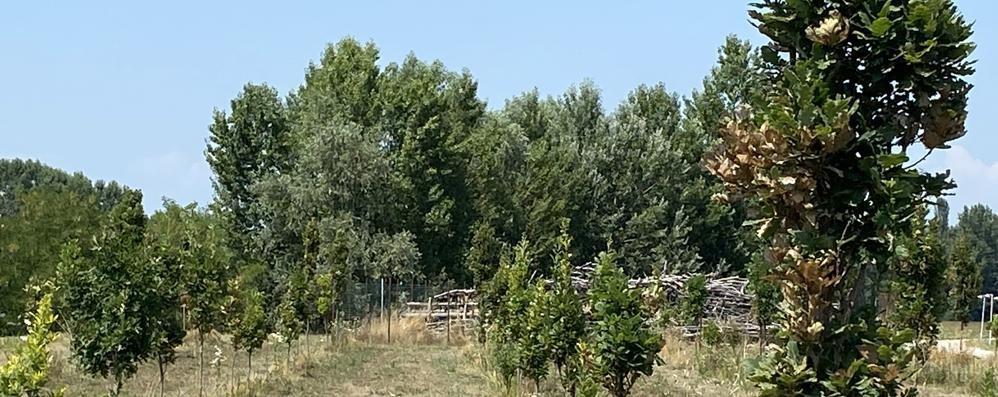 Lodi, filari di querce al posto della cattedrale vegetale