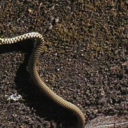 Melegnano, faccia a faccia con un serpente nel giardino del condominio
