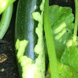 """Topi """"ghiotti"""" di verdure nei giardini di via Carso"""