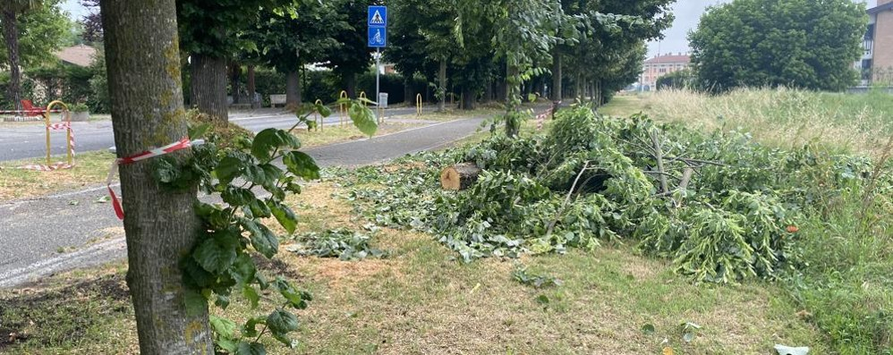 Un tiglio è crollato all'improvviso, chiusa la via d'accesso a Vidardo