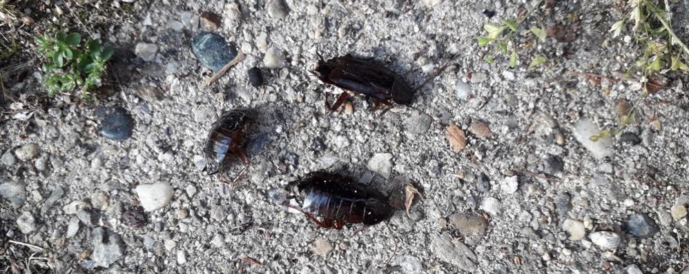 Zelo deve affrontare una invasione di scarafaggi
