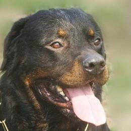 Aggredita da un rottweiler, paura per una pensionata a Boffalora