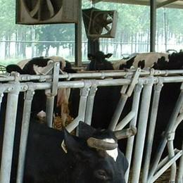 Allarme caldo anche per gli animali, docce e ventilatori accesi nelle stalle