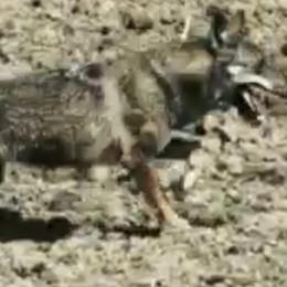 SAN FIORANO Avvistato un altro lupo in campagna, è il secondo esemplare in pochi giorni