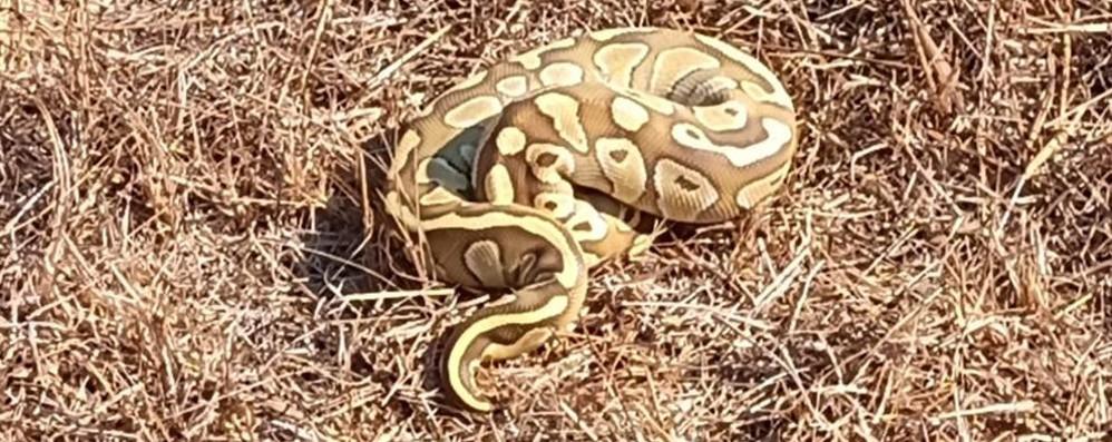 """Un serpente esotico nelle campagne di Corte Palasio """"catturato"""" dai residenti"""
