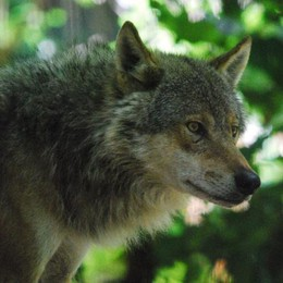 Nuovi avvistamenti di lupi, questa volta lungo la Muzza