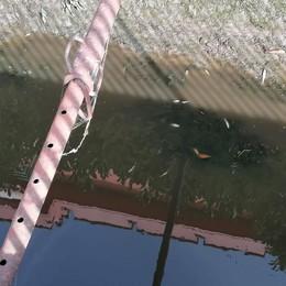 Paullo, pesci morti alla roggia Crivellona: manca l'acqua