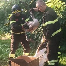Un cigno ucciso con una fucilata mentre volava sui campi a San Zenone
